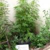 Por los tapiales con plantas de marihuana